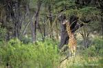 1619-giraffe_rothschild_s__giraffa_camelopardalis_rothschildi__lake_nakuru_sept_2002_002