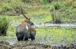 8634-waterbuck_defassa__kobus_ellipsiprymnus_defassa__masai_mara_kenya_seot_06_003