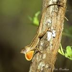anole_green__anolis_sagrei__loxahatchee_nwr__florida_april_2006_009